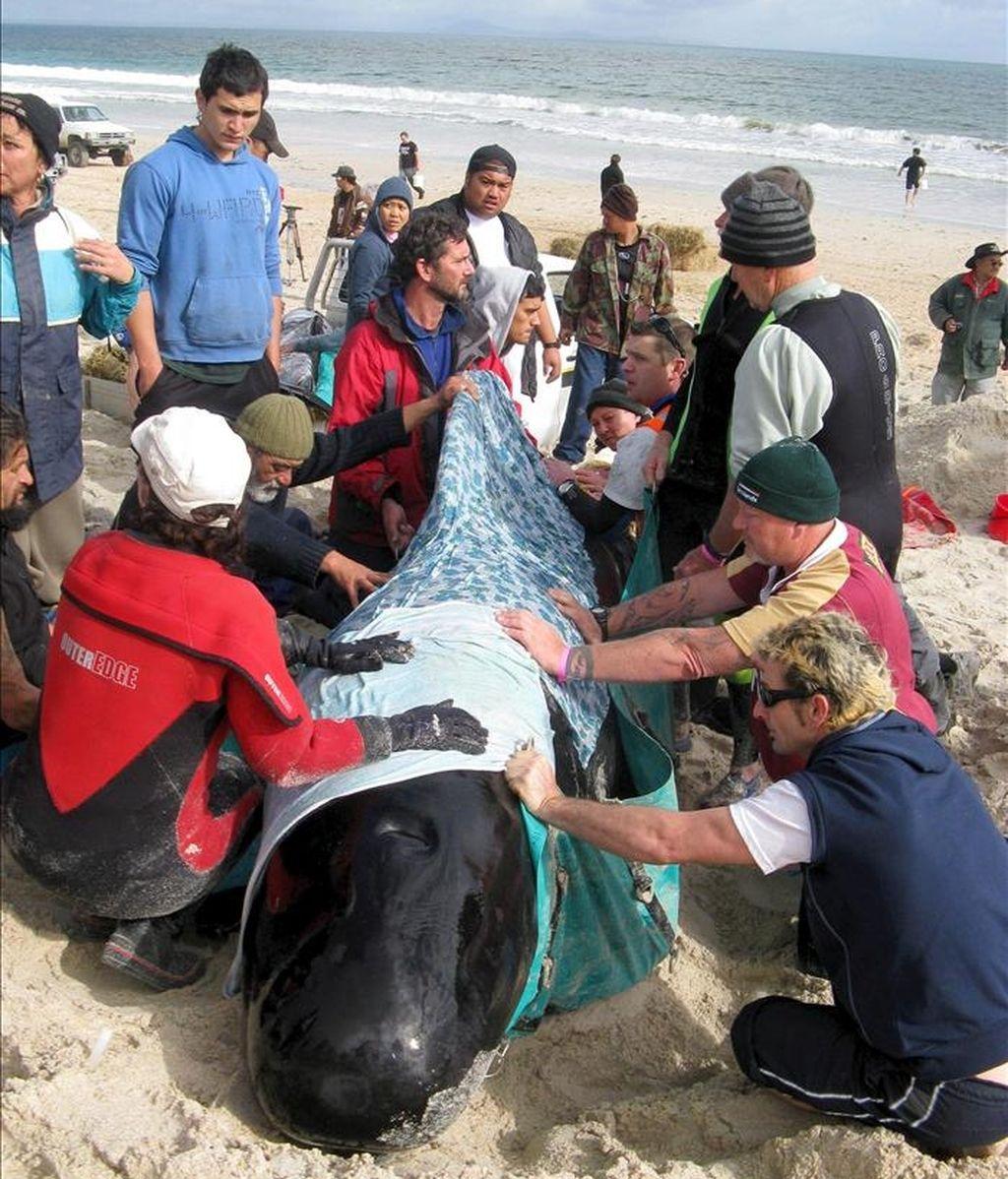 Voluntarios colaboran en las labores de rescate de una ballena varadas en la playa de KariKari, en Nueva Zelanda. EFE/Archivo