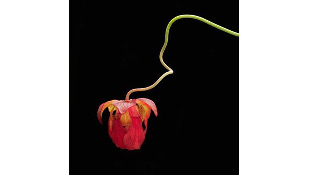 Sarracenia híbrida