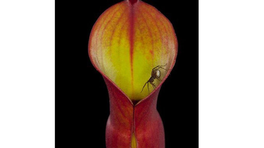 Heliamphora nutans