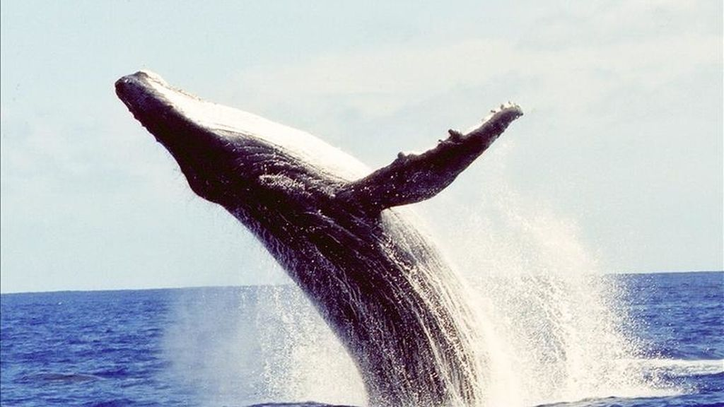 Fotografía facilitada por Greenpeace Internacional de una ballena jorobada, una especie que es capaz de navegar durante semanas miles de kilómetros en línea recta y de ser tan precisa en su ruta como un GPS, según un estudio de científicos neozelandeses divulgado hoy. EFE