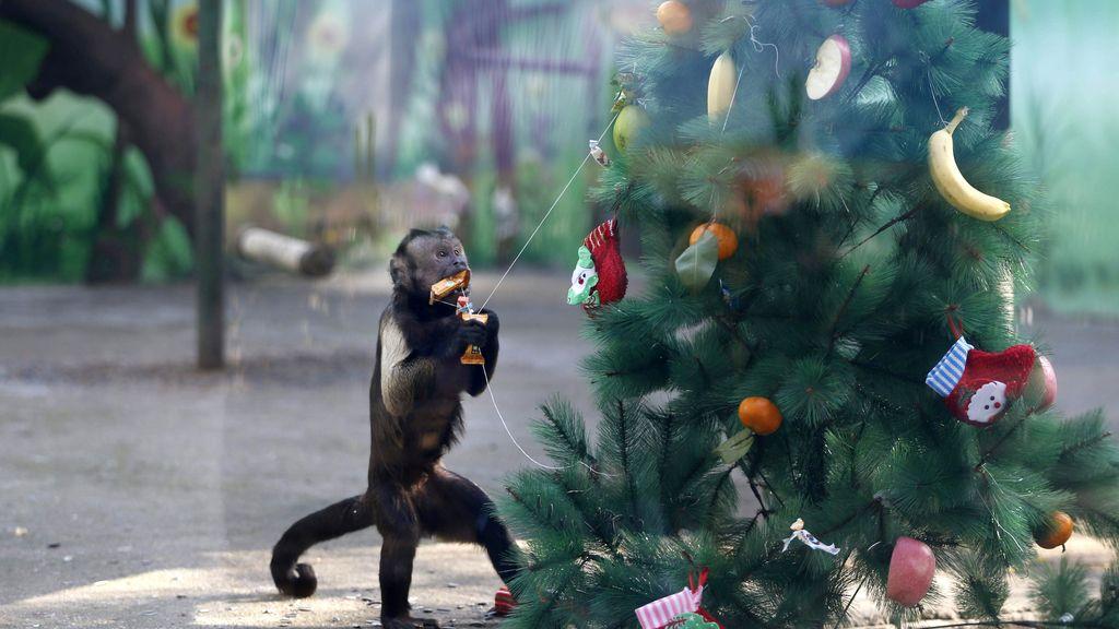 La navidad para los monos del zoológico chino de Zhengzhou