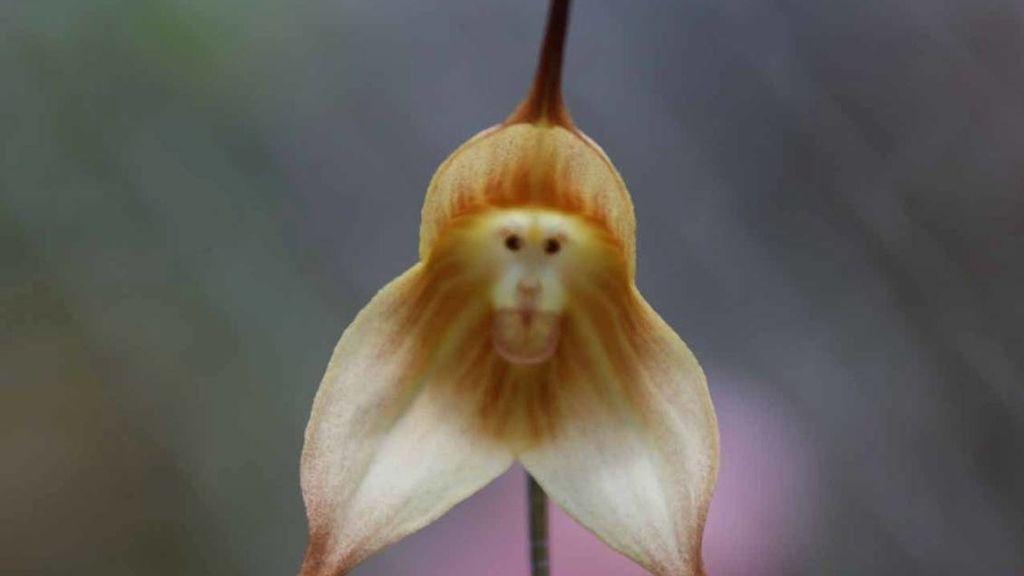 Increíble orquídea con la cara de un mono