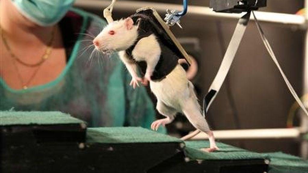 Rata, paralítica, experimento