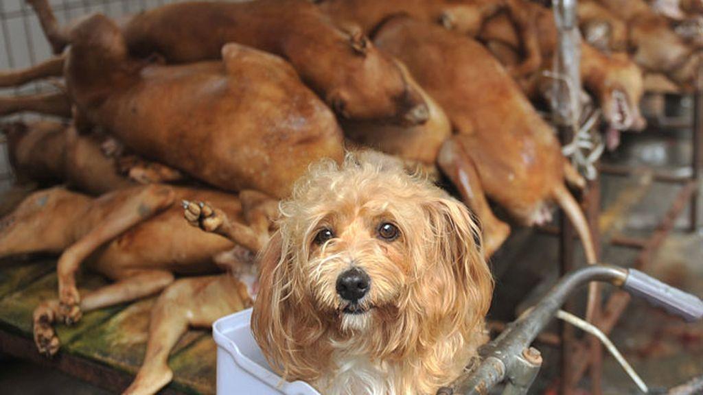 Matanza de perros