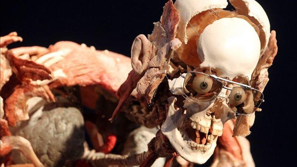 """El cuerpo """"plastinado"""" titulado El ciclista, obra del anatomista alemán Gunther von Hagen expuesto hoy, miércoles 27 de abril de 2011, en Berlín (Alemania). EFE"""