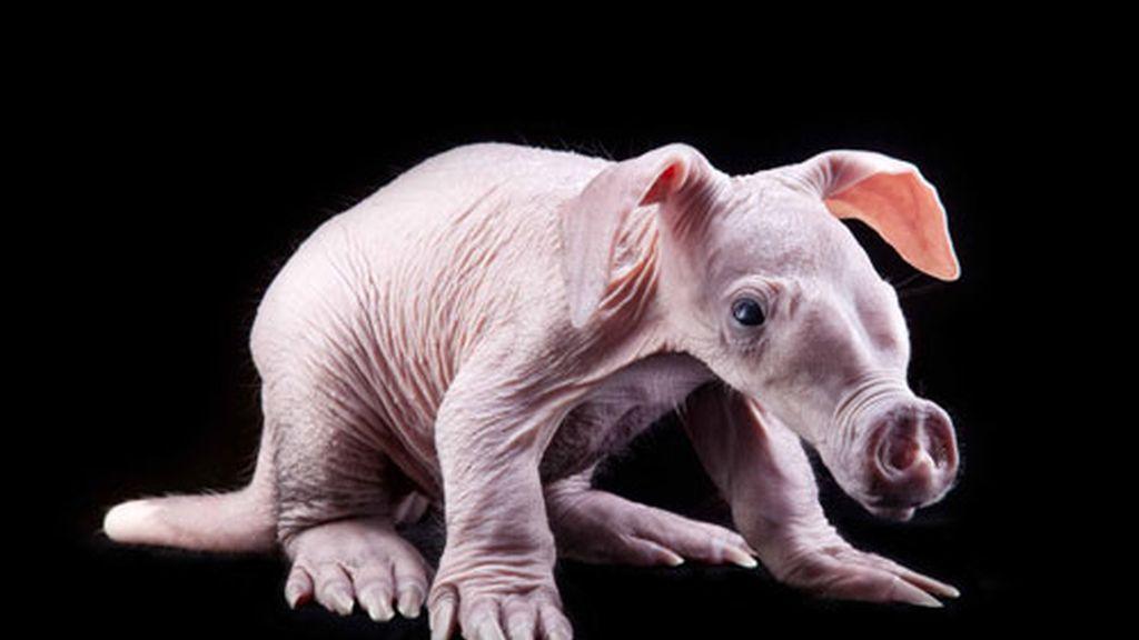 Nace en Estados Unidos un oso hormiguero sin pelo