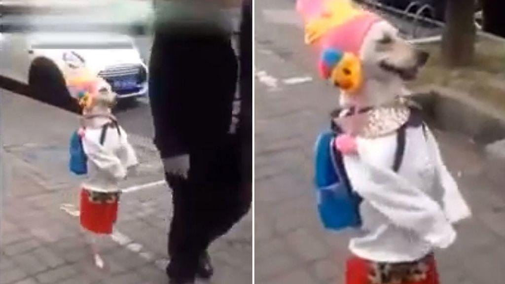 Un perro disfrazado de mujer disfruta de un agradable paseo