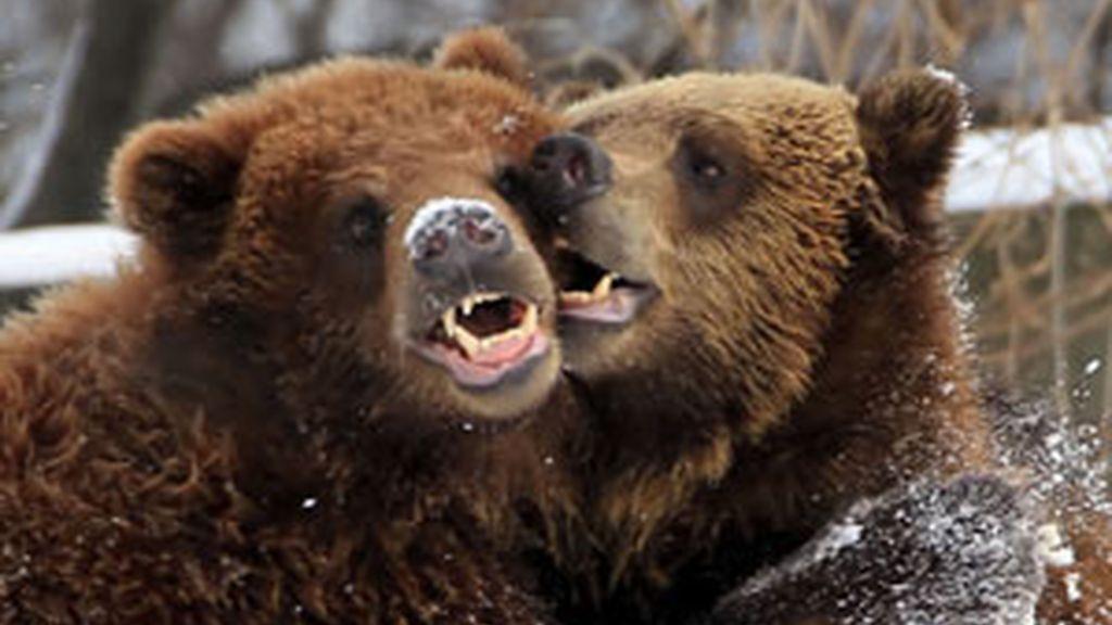 Utilizan a los osos para atraer más turistas FOTO: GTRES