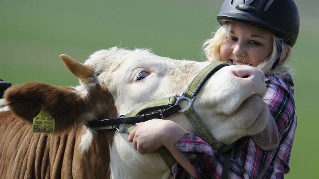 Practica la hípica a lomos de su vaca