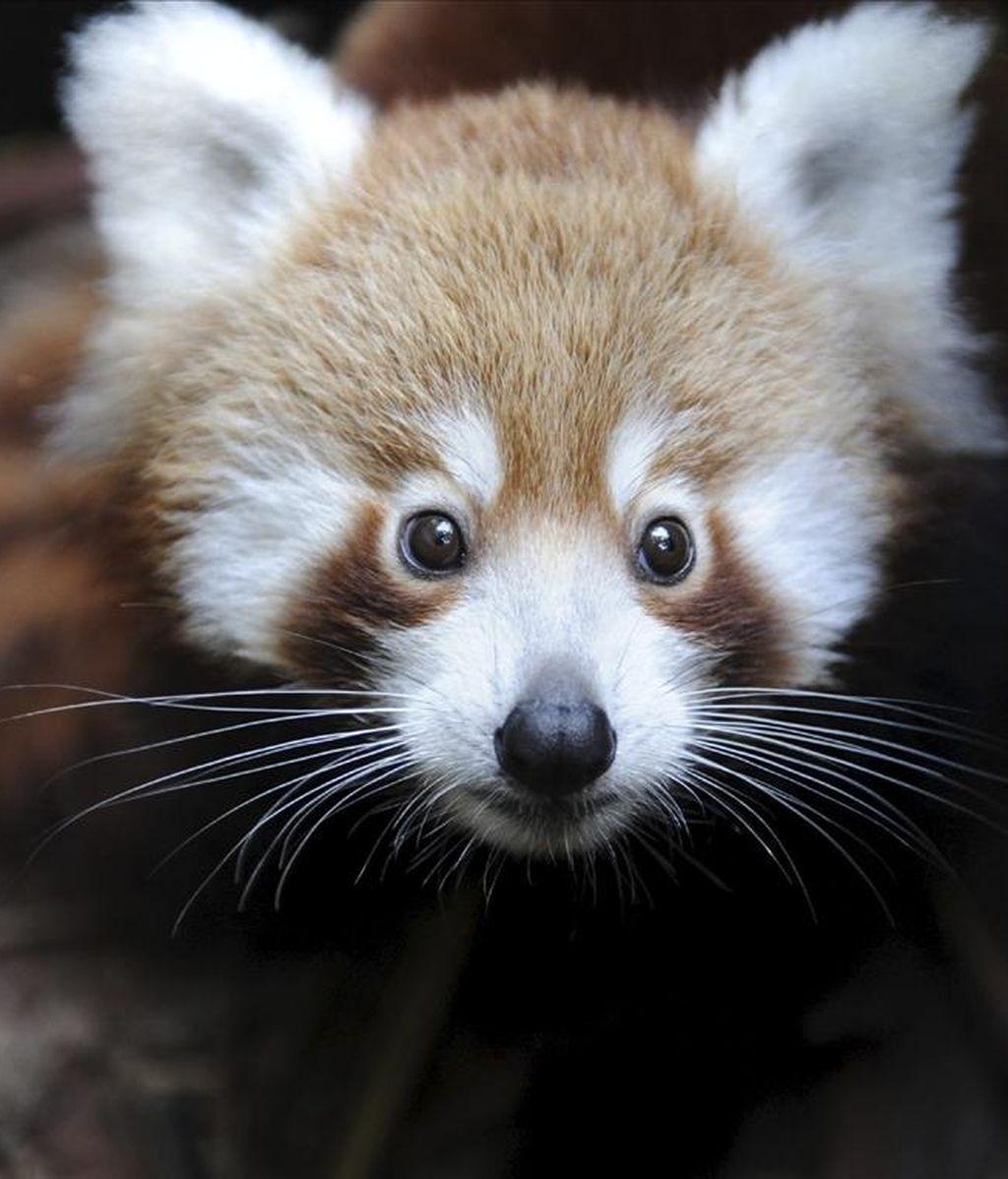 Seba, un panda rojo de cuatro meses, ha sido presentado hoy al público en el zoológico Taronga de Sídney. El bebé, cuya especie ha sido incluida en la lista mundial de animales vulnerables, nació el pasado mes de diciembre y ha vivido desde entones sin separarse de su madre. EFE/Peter Hardin