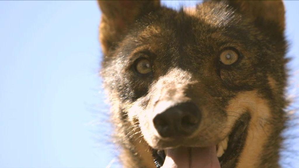 Así empezó la historia de 'amor' entre Félix Rodríguez de la Fuente y los lobos