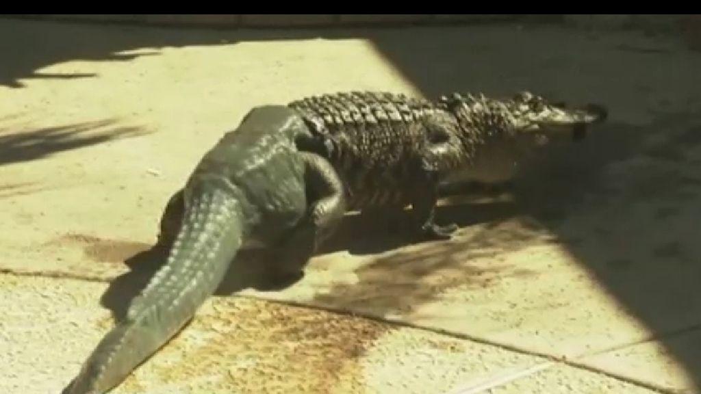 Stubbs, el primer cocodrilo con una cola artificial