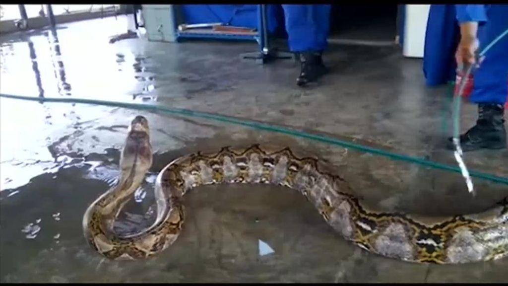Mundo Insólito: Encuentran la serpiente más grande del mundo con 8 metros