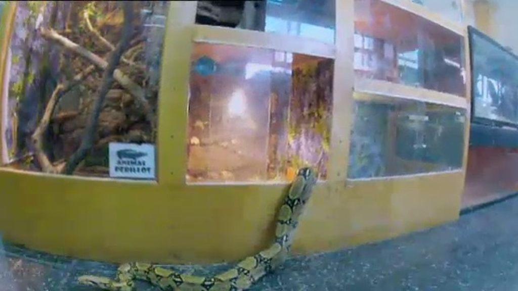 Una serpiente se escapa del terrario mientras Dani está en el bar