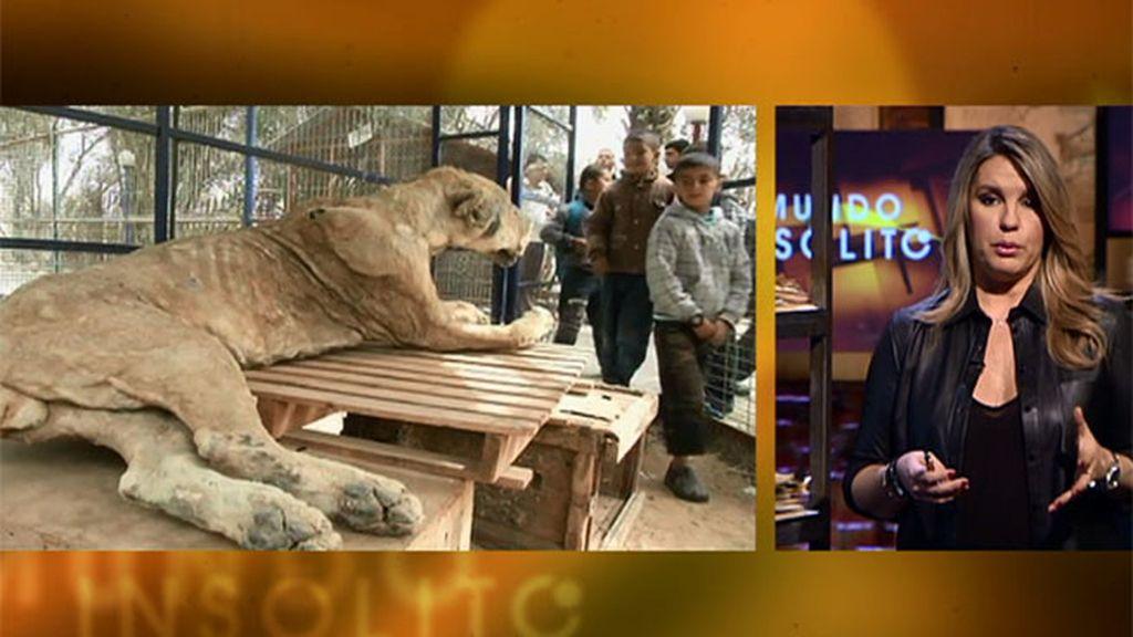 Mundo insólito: el zoológico más triste del mundo, en el sur de la franja de Gaza