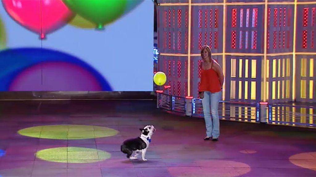 El jurado no se pone de acuerdo con la actuación de Hugo, el bulldog francés