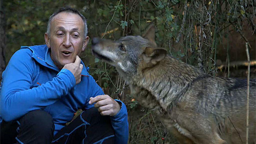 Kike Calleja se mezcla con una manada de lobos ibéricos y ocurre lo impensable
