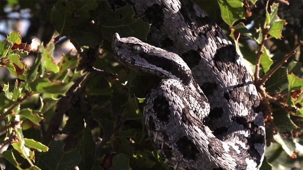 Víbora hocicuda, la criatura culpable de tantos mitos y leyendas en España