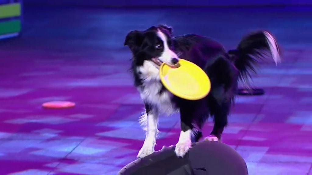 Cleo, la reina perruna del 'disk-dog'