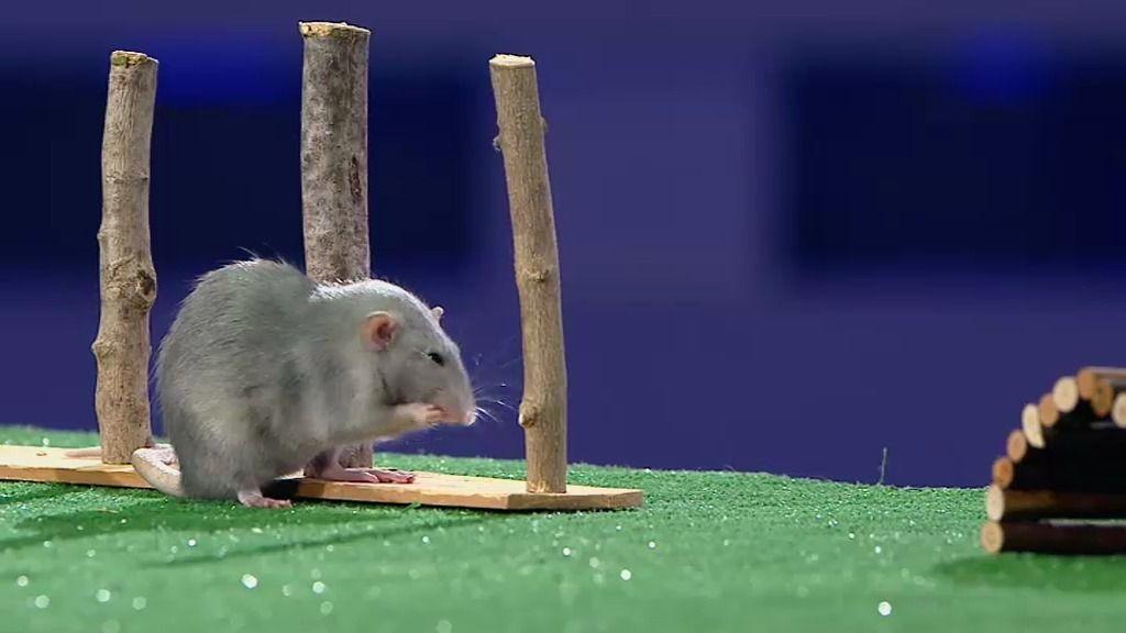Santi Serra le da una 'coz' a Remi, una de las pocas ratas azules que existen