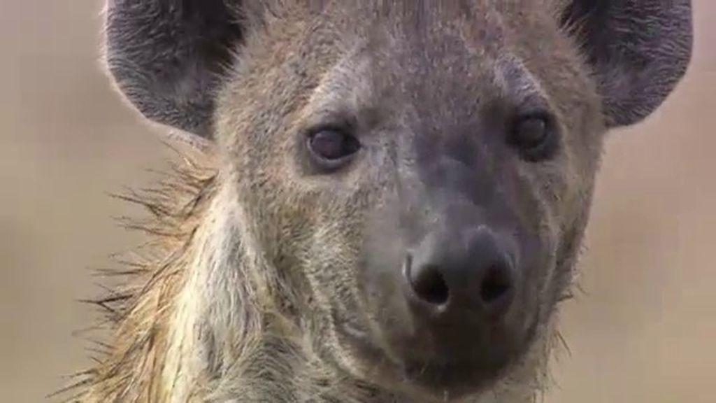 Archivo de fauna desconocida: Las leyendas y brujerías en torno a la hiena