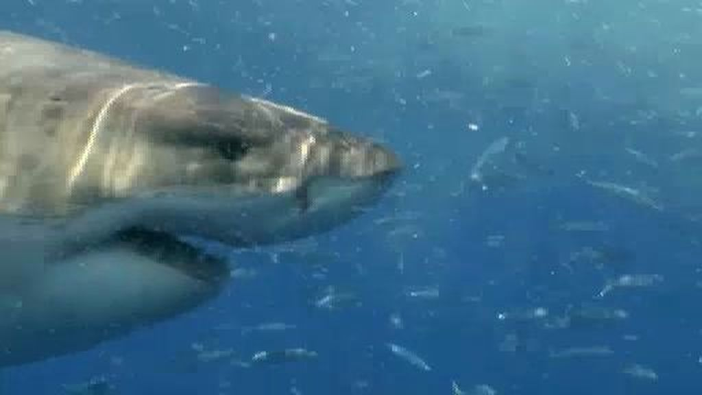 Tiburones en España: su presencia en nuestras costas, un tema tabú