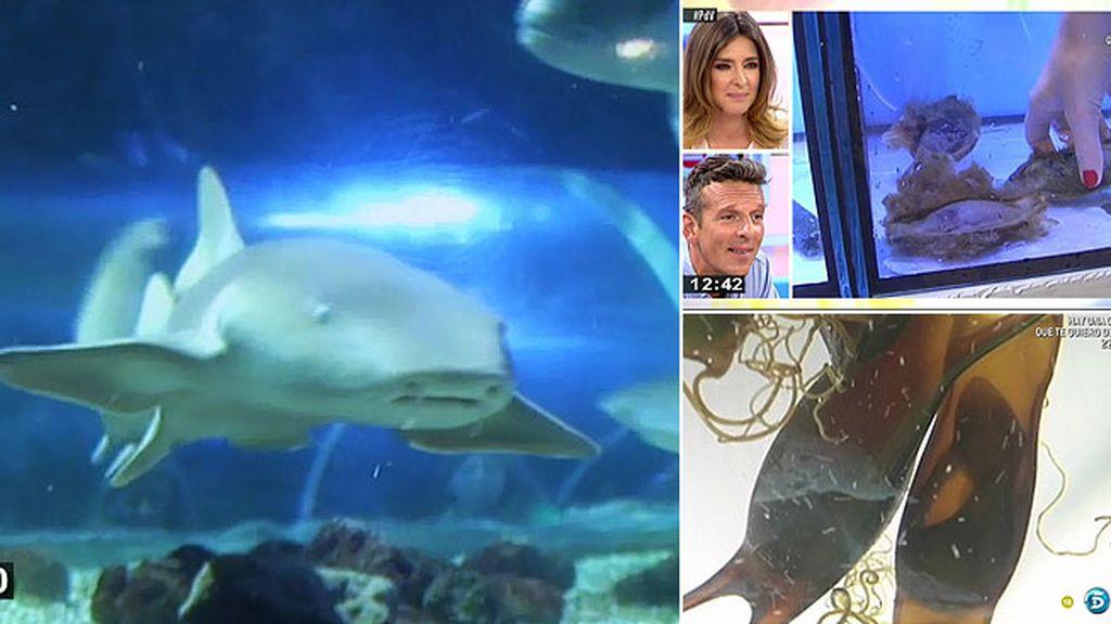 'El programa del verano' apadrina a tres crías tiburones que nacerán cautividad