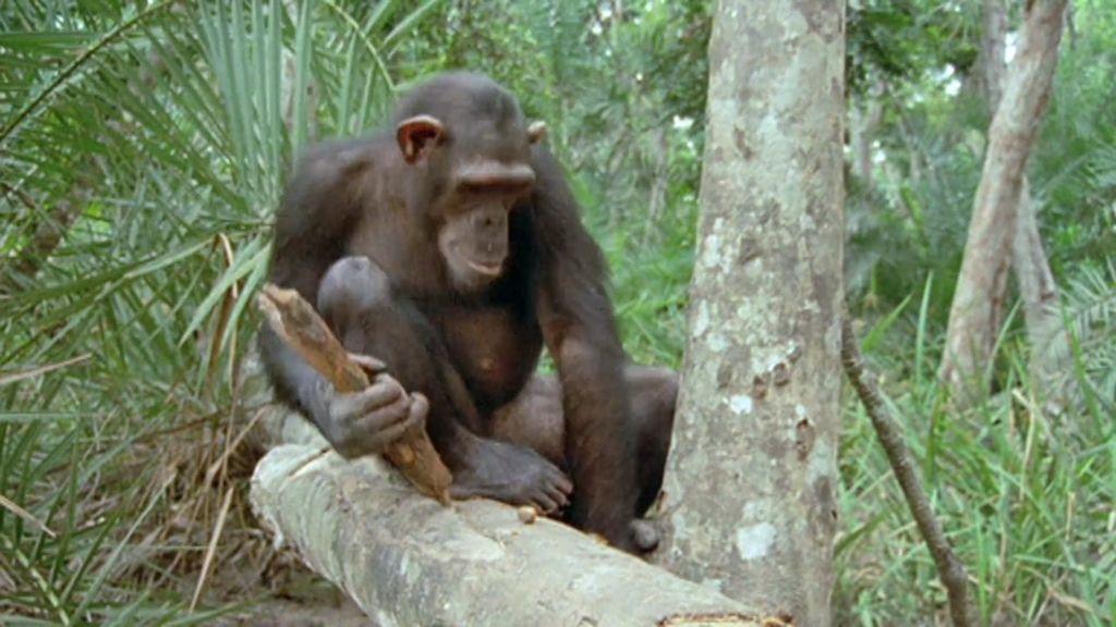 ¿Se están humanizando los chimpancés? El análisis en 'Cuarto Milenio'