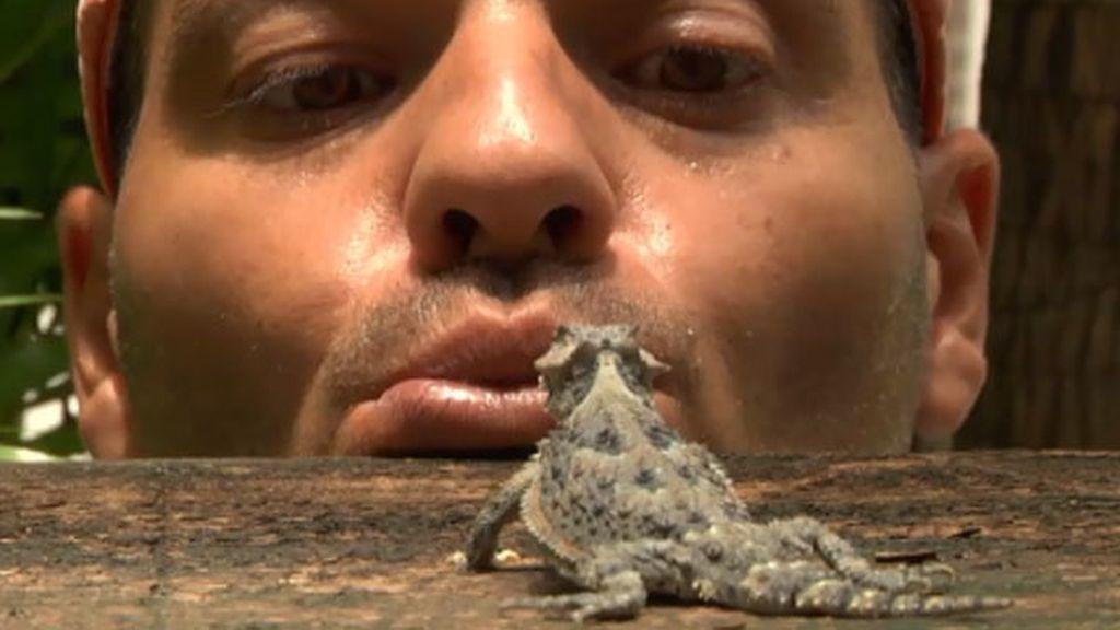 El lagarto cornudo lanza sangre