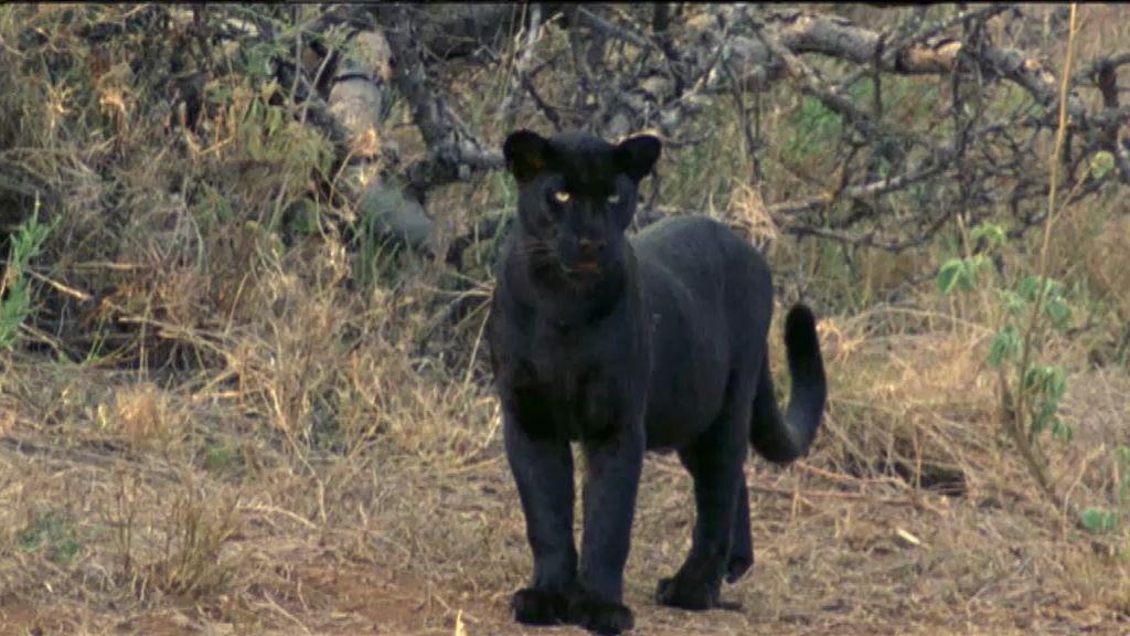 Fauna mítica: La pantera de Berja