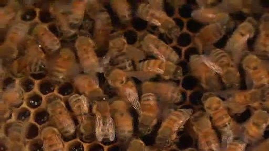Comiendo miel directamente del panal