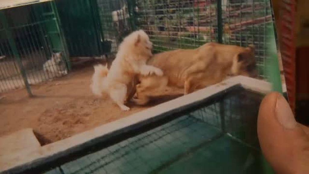 El amor entre un perro y una leona