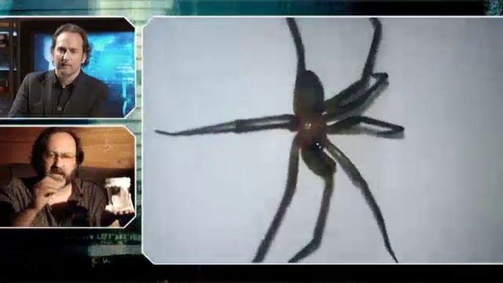 ¿Ha llegado la araña de rincón a España?