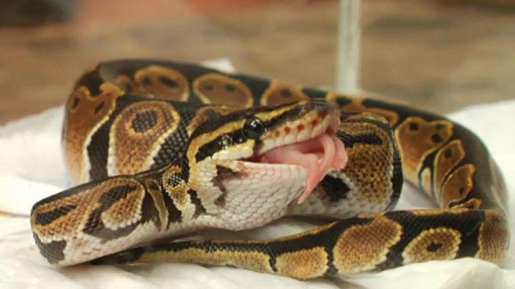Frank obliga a comer a una serpiente