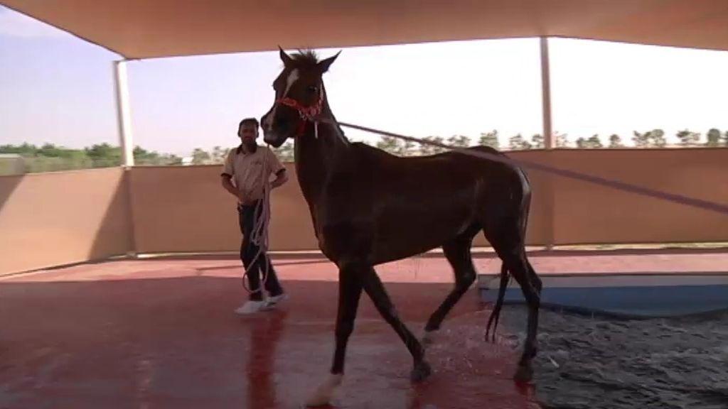 Los caballos, pasión árabe