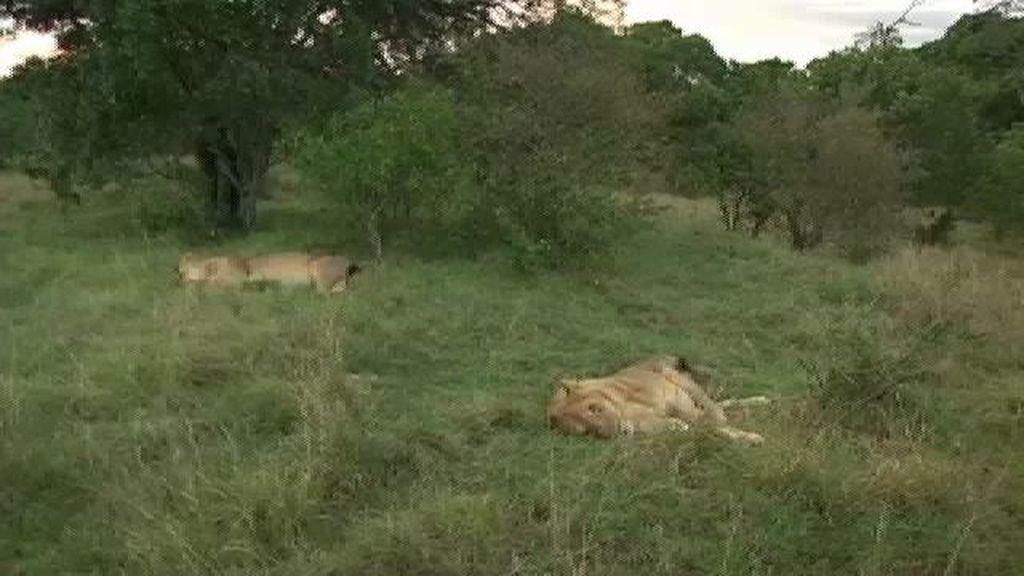 Cercados por los leones