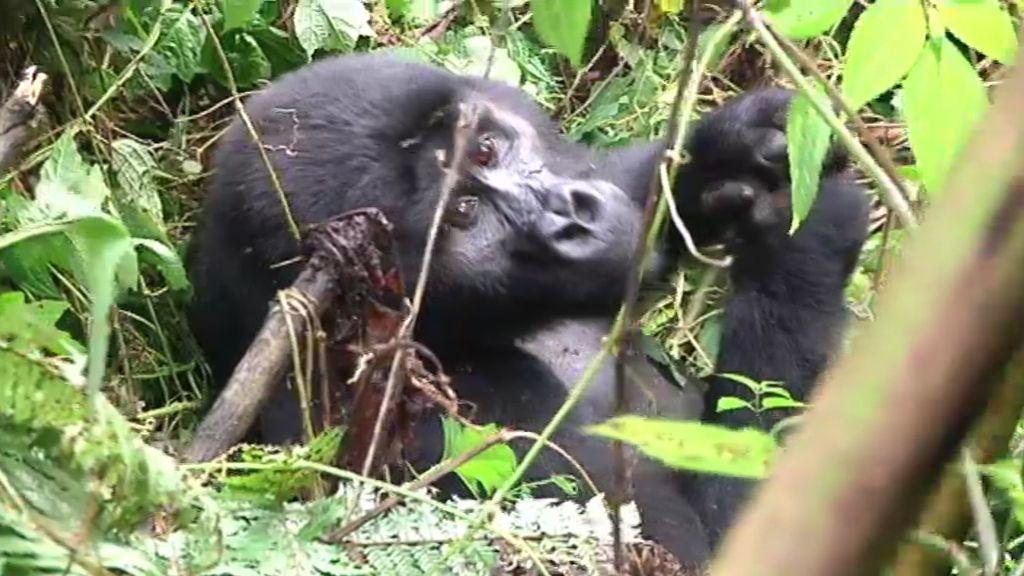 A dos metros de los gorilas