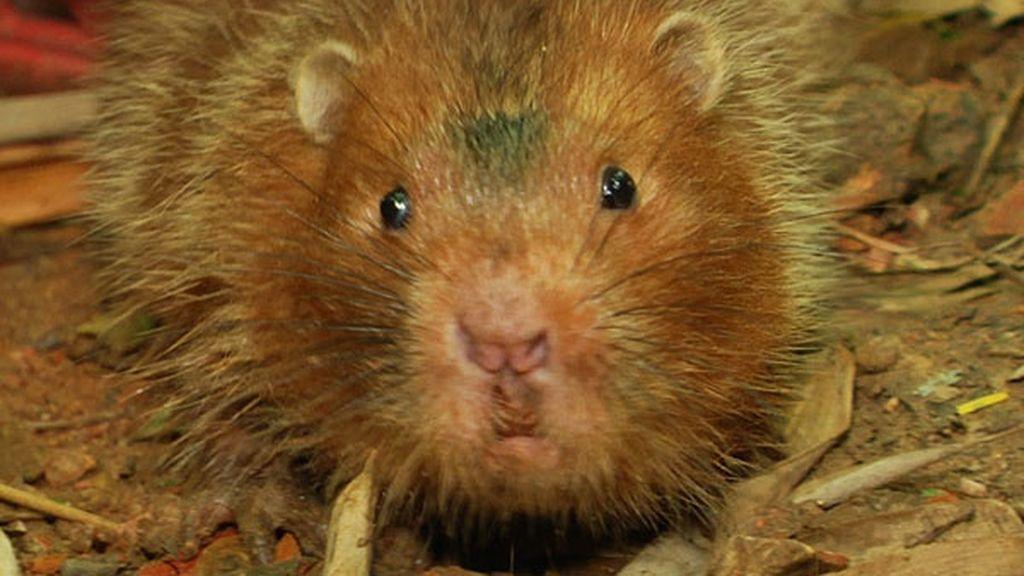 ¡Una rata gigante del bambú muerde a Frank!