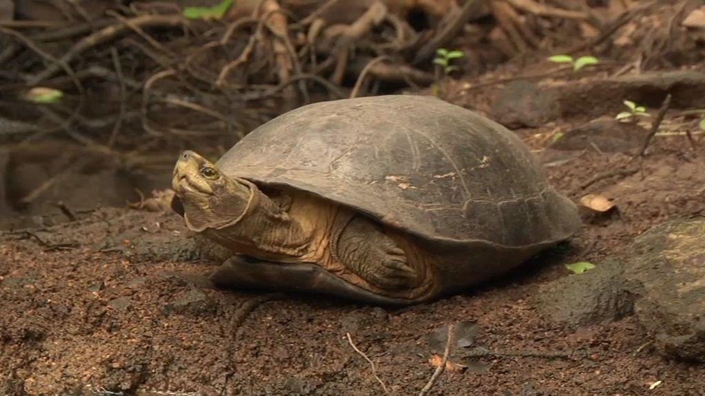Frank Cuesta descubre a la tortuga vampira