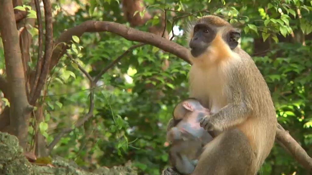 Espacio reservado para los monos verdes