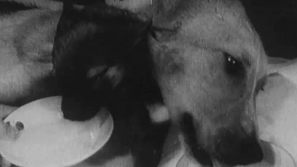 Injertos de cabezas en perros