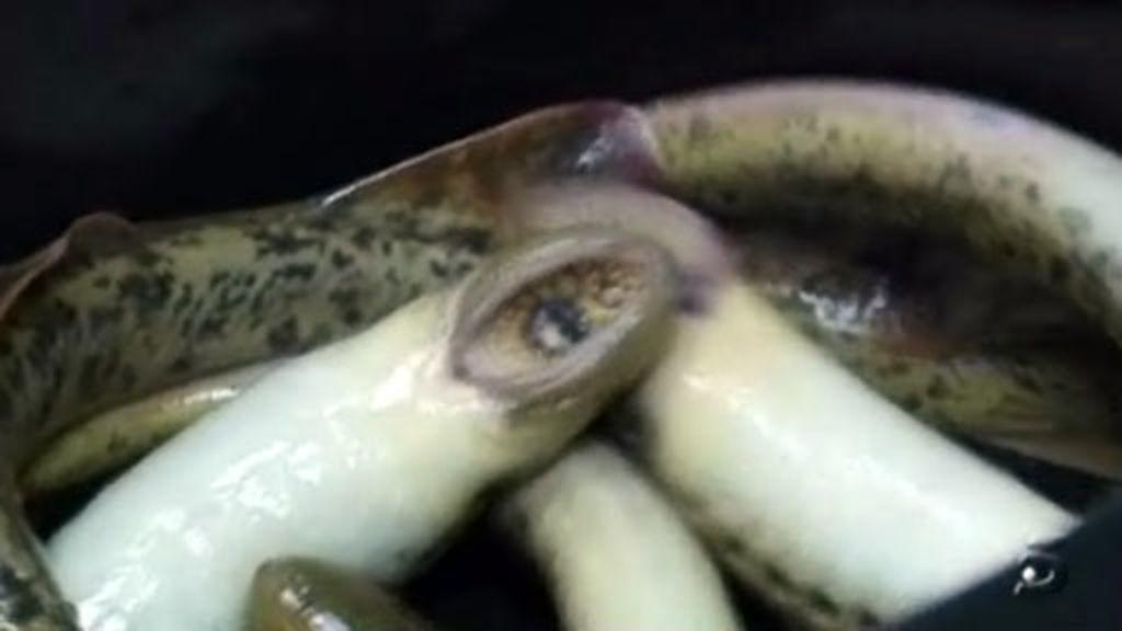 Comienza la temporada de lamprea