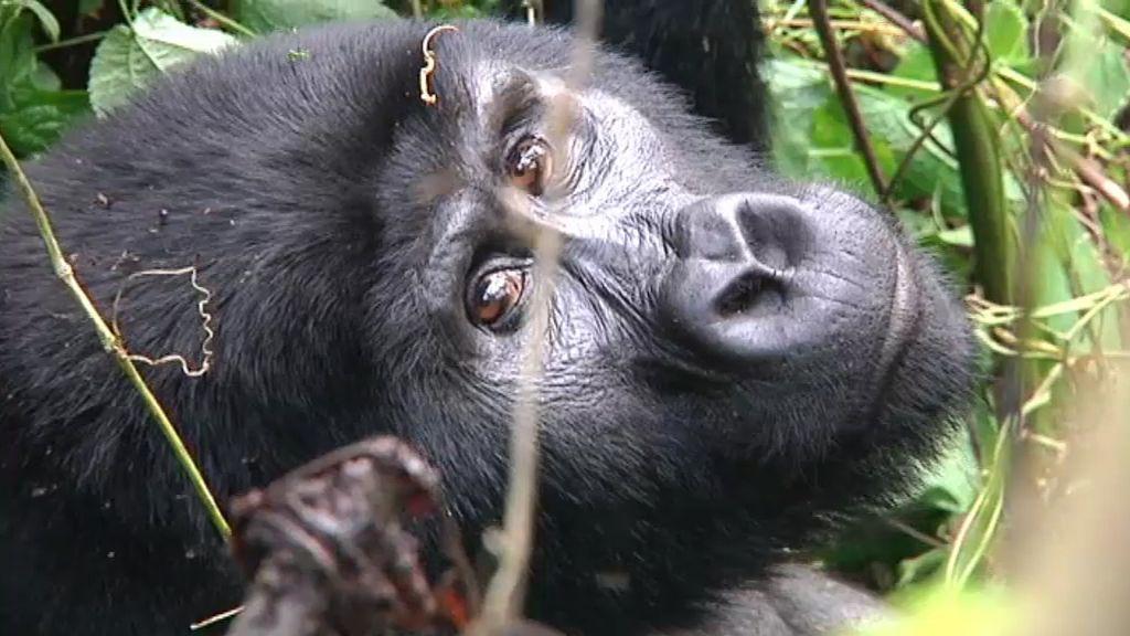 Mirando a un gorila a los ojos
