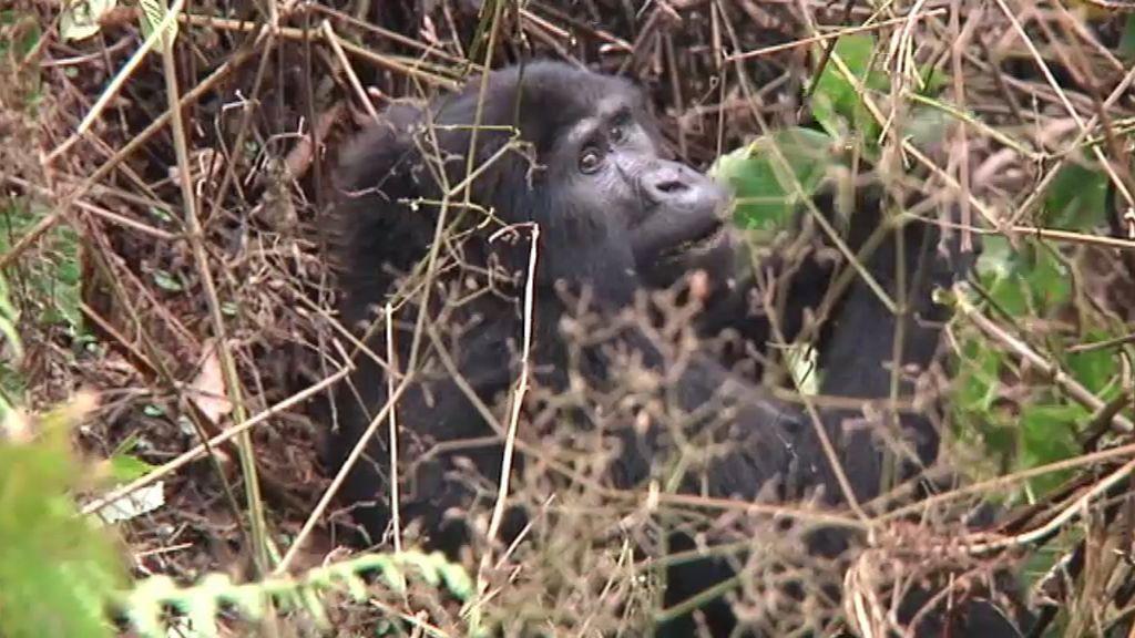 Viajeros visita a los últimos gorilas
