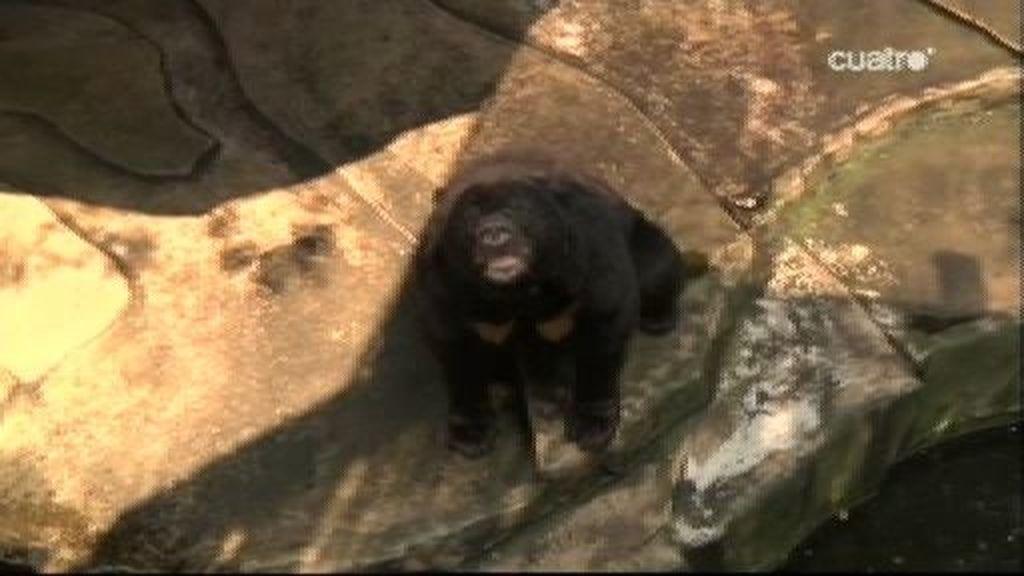 Frank presenta  a dos osos asiáticos
