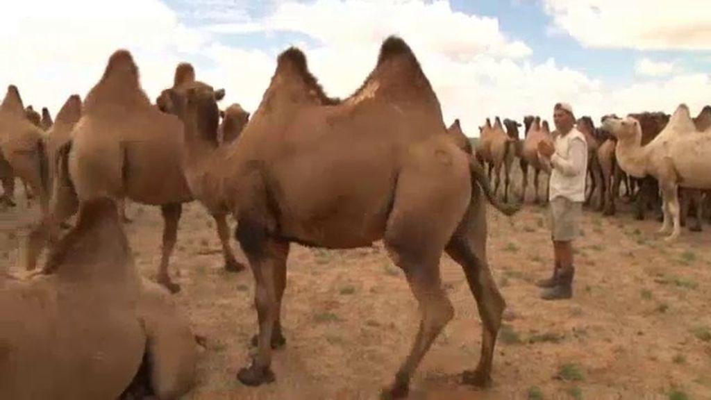 Frank 'se enfrenta' a un grupo de camellos salvajes