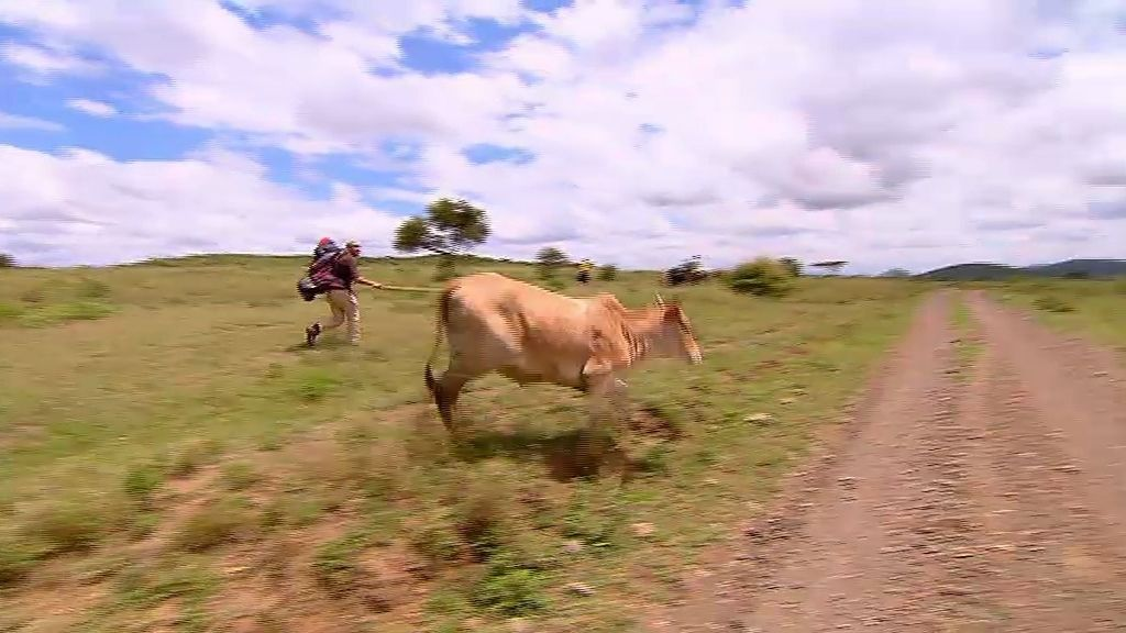 Parte de la etapa... ¡con una vaca!