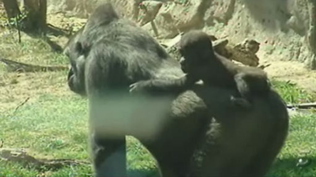 Buscan nombre al bebé gorila