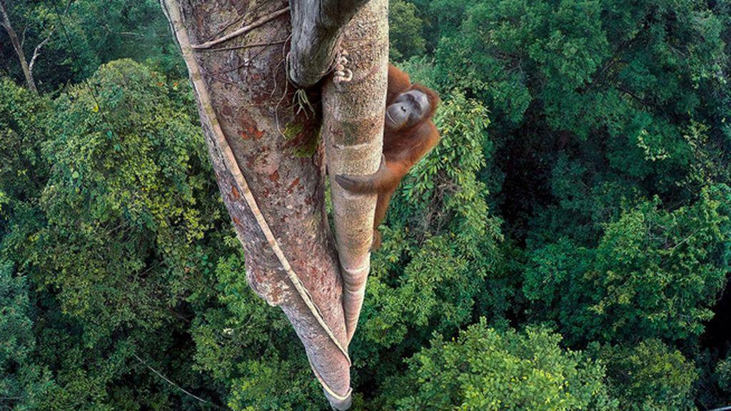 El orangután escalador, de Tim Laman
