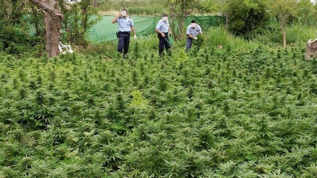 Detenido un hombre por cultivar más de 1.300 plantas de marihuana